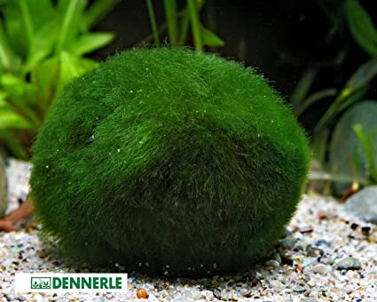 Gigante Marimo Musgo Ball Acuario Planta chladophora SP 5 - 7 cm