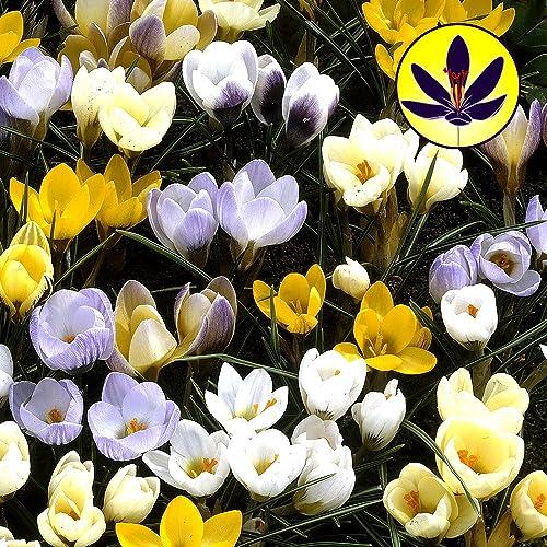 Crocus species mixed small flowering dwarf hardy spring flowers crocus species mixed flower bulbs x 100 mightylinksfo