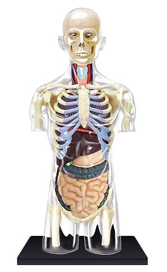 Amazon.com: Transparent Torso Anatomy Model - Build your Own with 37 ...