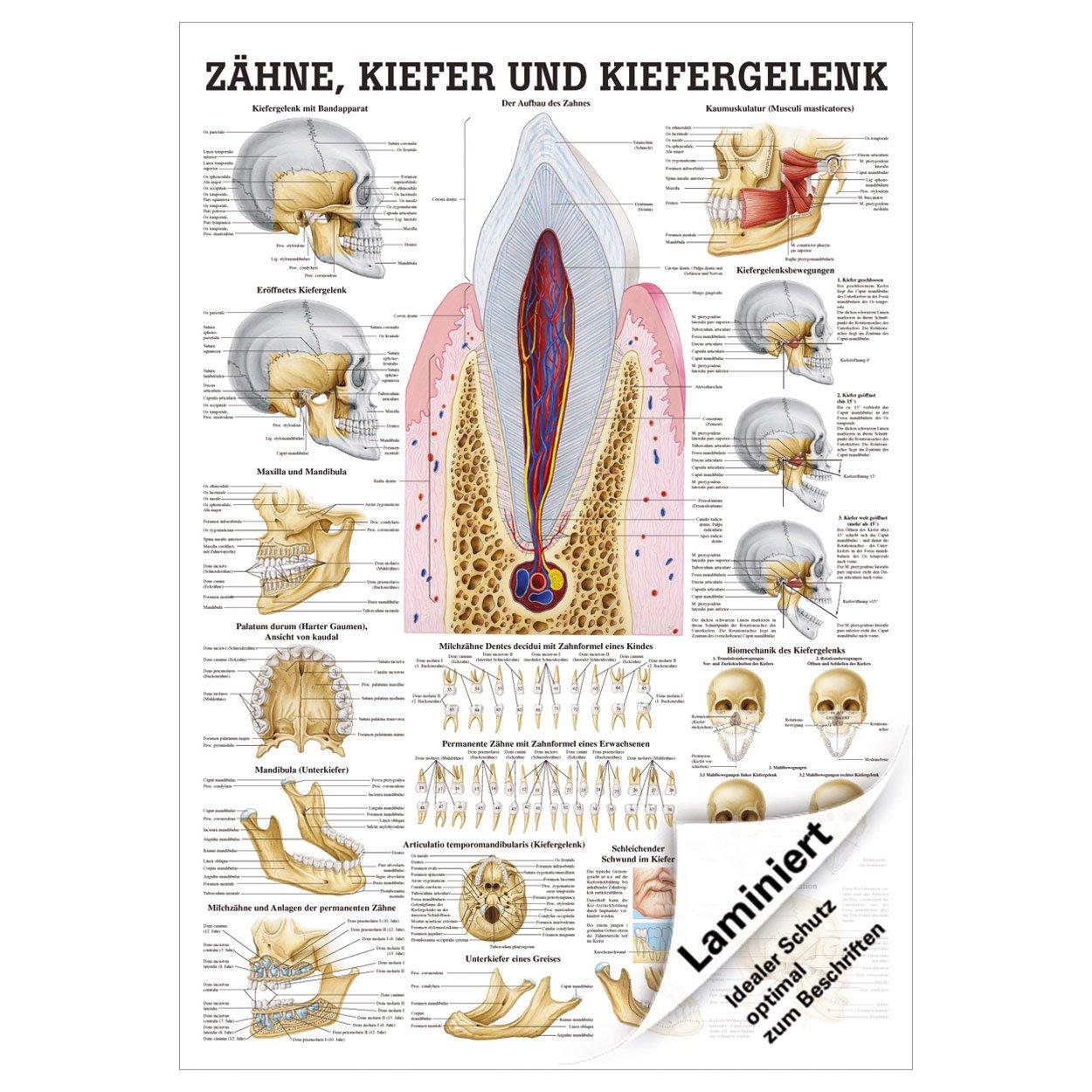 Zähne und Kiefergelenk Mini-Poster Anatomie 34x24 cm medizinische ...