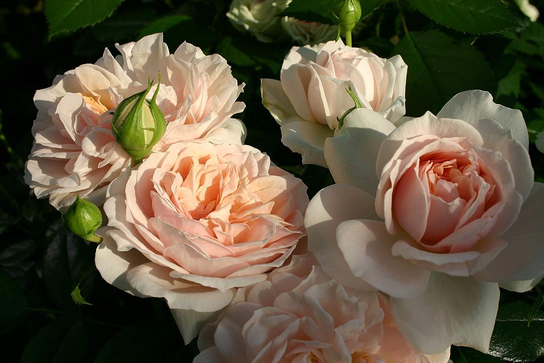 Repeat Flowering Rose of the Year Winner JOIE DE VIVRE Very Healthy 4lt Potted Floribunda Garden Rose Bush Stunning Displays of Quartered Pale Pink Blooms
