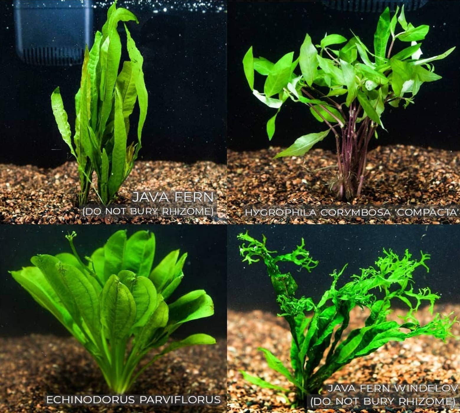 Mainam 4 Species Freshwater Live Aquarium Plant Package Set Java Fern - Rosette Amazon Sword - Hygrophila Corymbosa - Java Fern Windelov by Mainam
