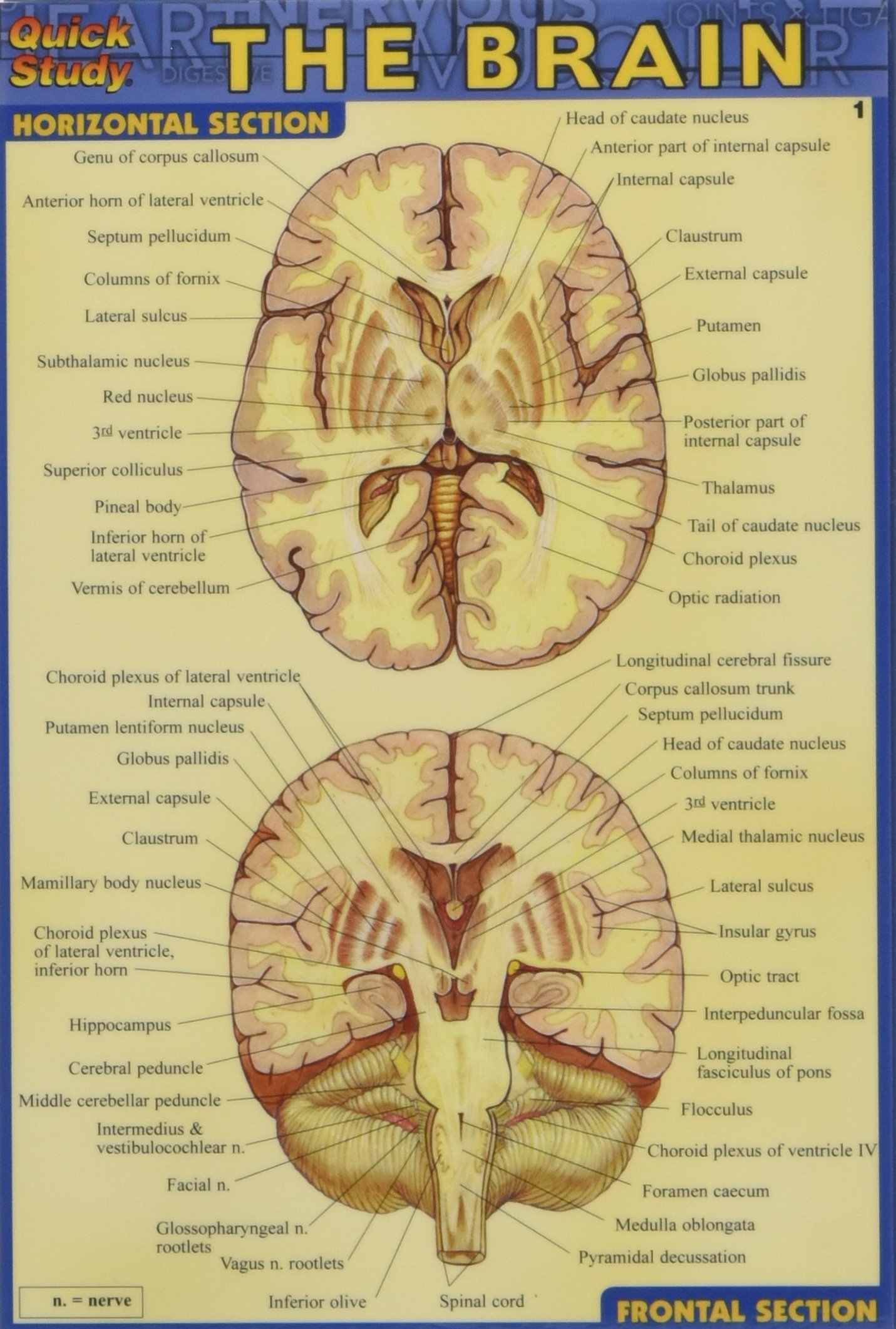 Buy Brain (Quick Study) Book Online at Low Prices in India | Brain ...