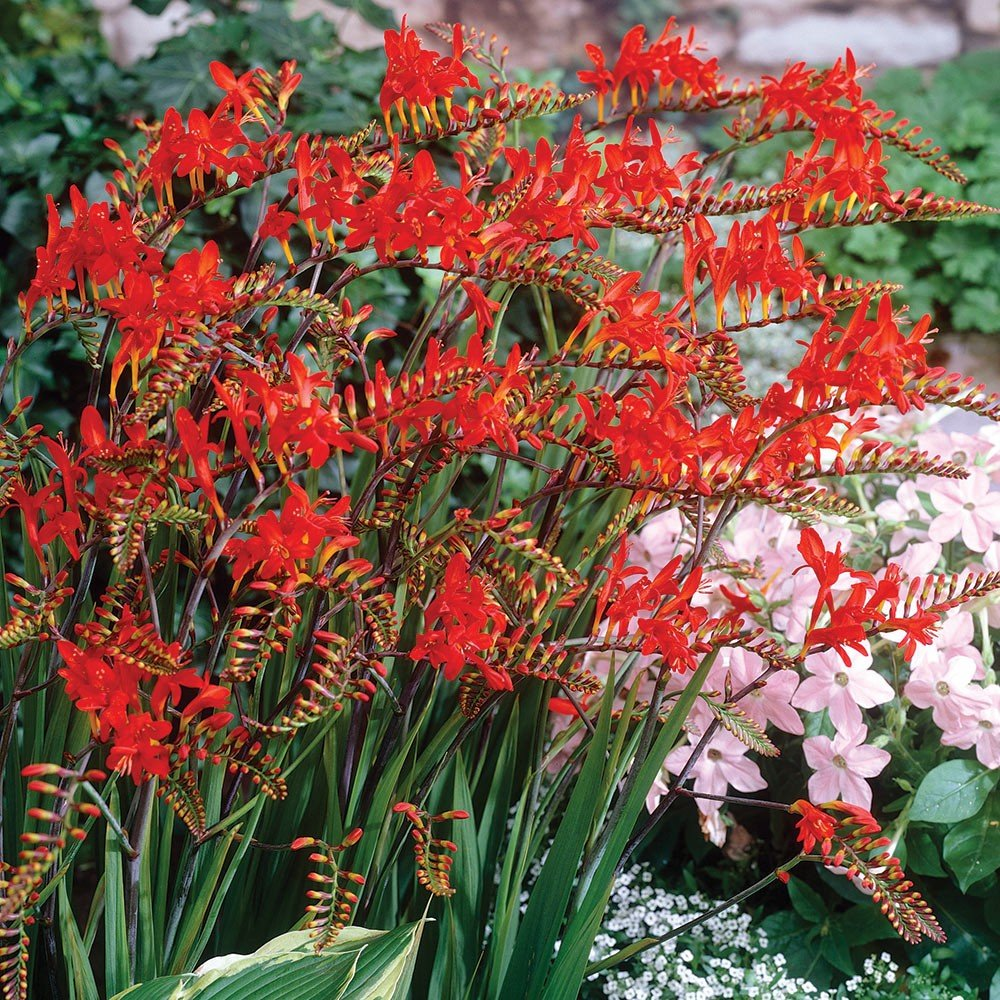 10 x Crocosmia Lucifer Monbretia Bulbs to Plant Yourself Cambridge Farmers Outlet