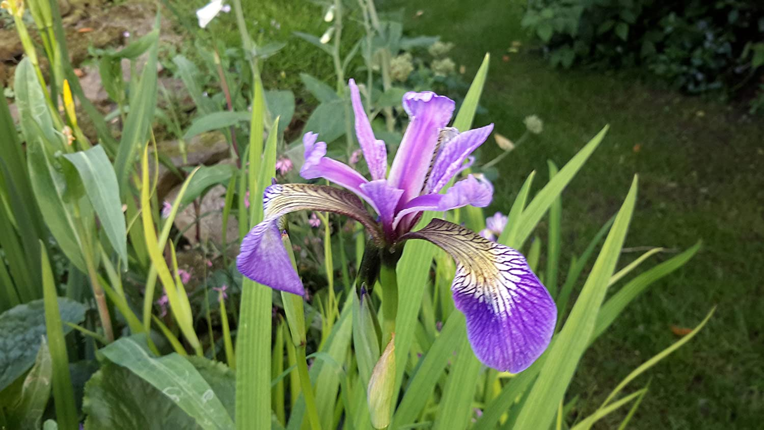 Iris versicolor $15 christmas gift ideas
