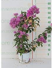 pianta vera da esterno di Bouganvillea sanderiana a piramide Viola v15