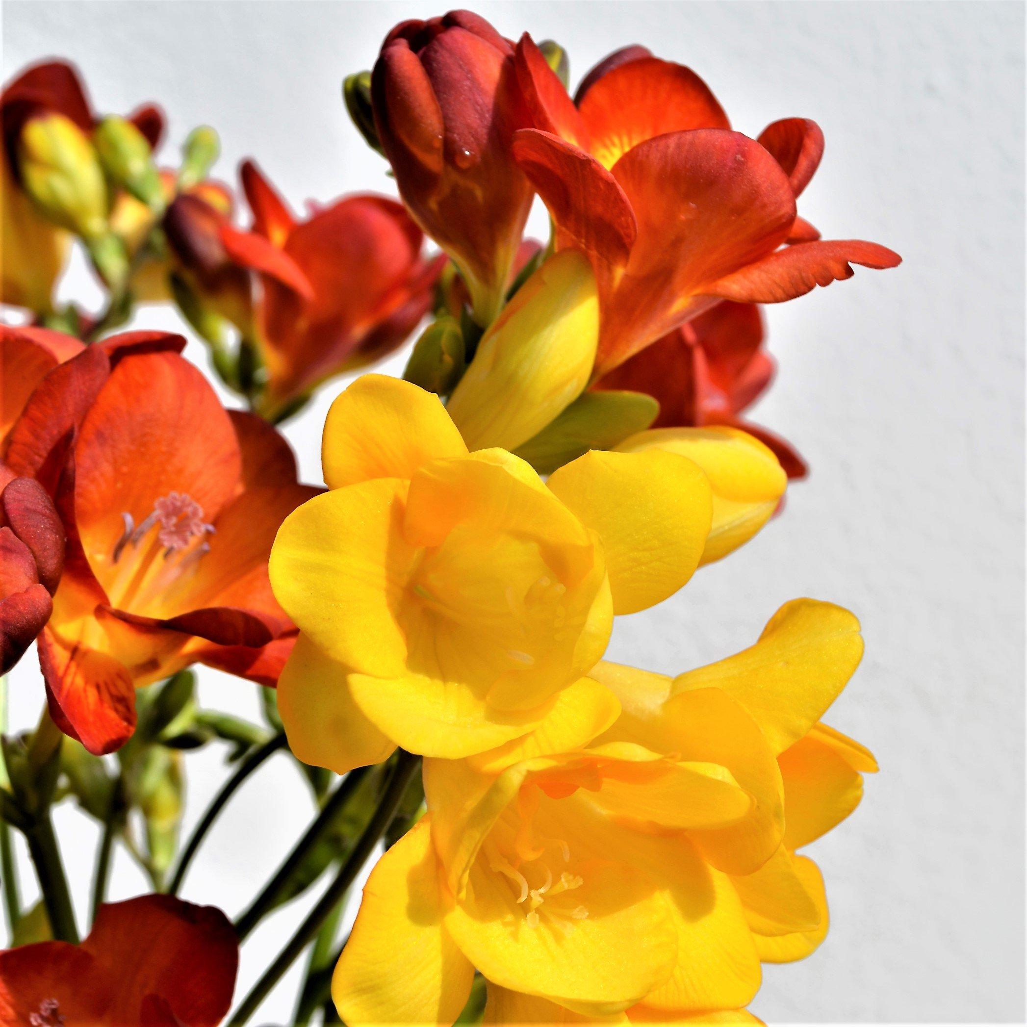 Freesia Flowers Amazon