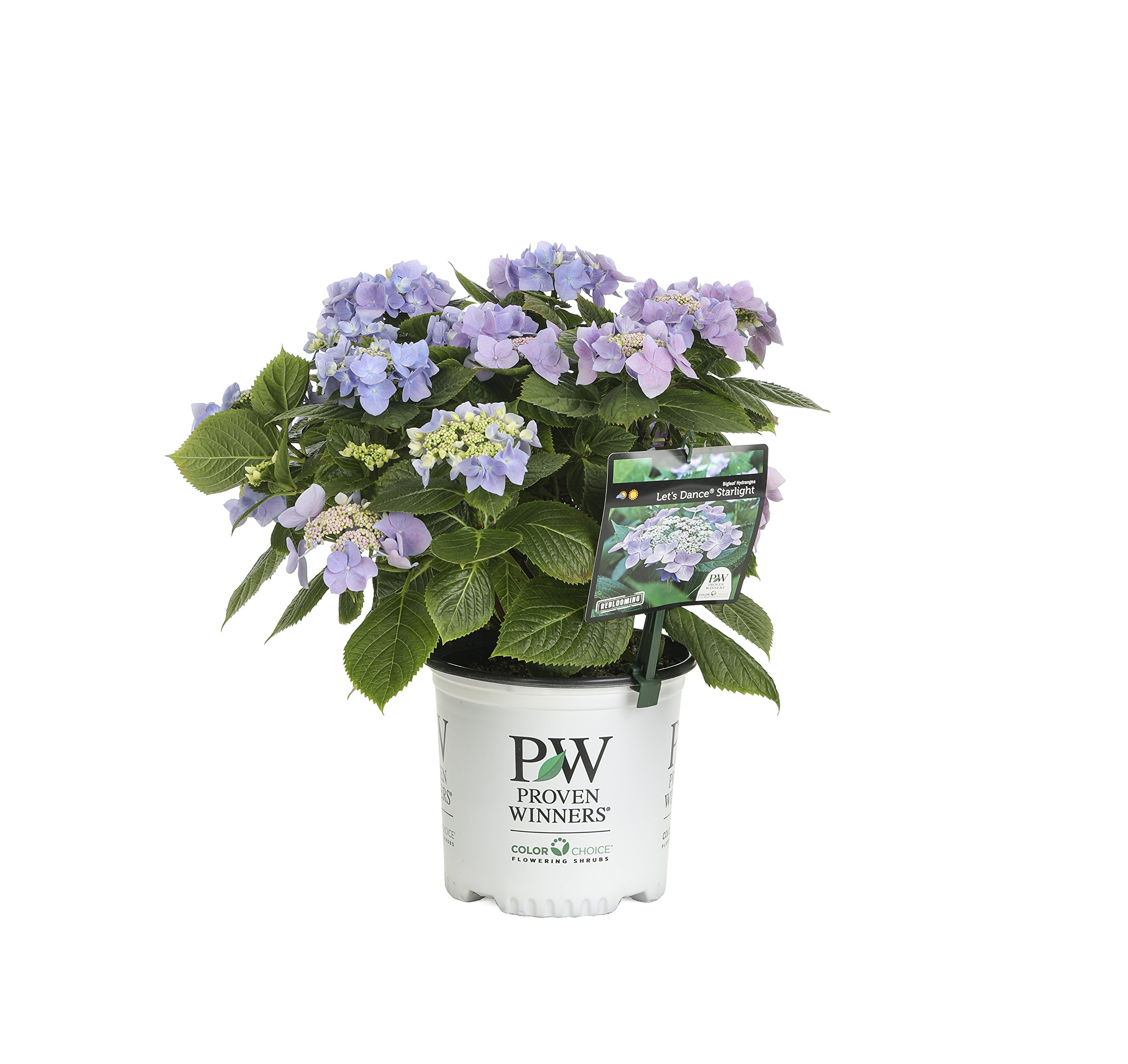 1 Gal. Let's Dance Starlight Bigleaf Hydrangea (Macrophylla) Live Shrub, Blue or Pink Flowers by Proven Winners (Image #1)