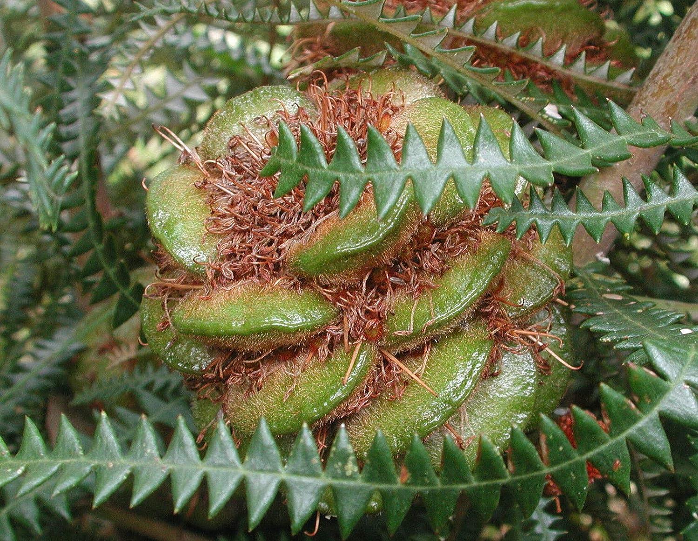 Dryandra Leaved Banksia Banksia dryandroides 5 seeds