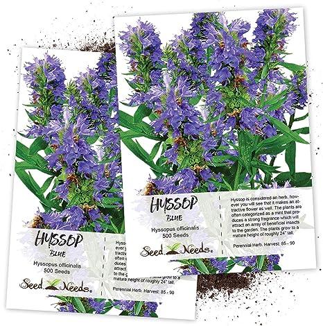 Hyssopus officinalis or hyssop Herb Seeds perennials