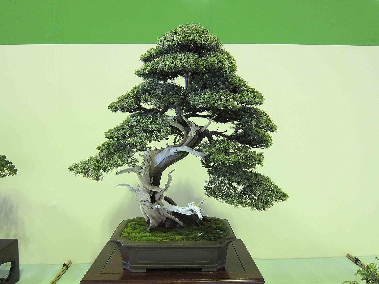 FREE S/&H 5 SEEDS UTAH JUNIPER Juniperus Osteosperma