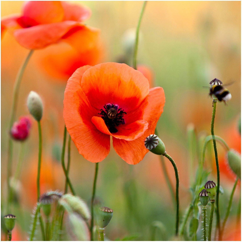 Amazon Bulk Package Of 100 000 Seeds Red Poppy Corn Poppy