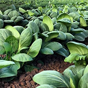 Pak Choi Cabbage Seed - 1 OZ ~11,200 Seeds - Heirloom, Open Pollinated, Non-GMO, Farm & Vegetable Gardening & Micro Greens Seeds