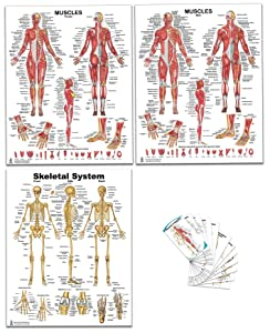 4 Pack - Anatomical Muscle Poster Set & Bonus Pocket Charts, Female, Male, Skeletal Muscle Poster 16 x 20 inch, Pocket Chart 3 x 5 1/4 inch