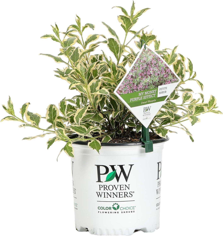 Proven Winners WEIPRC1116101 My Monet Effect Live Shrub, 1 Gallon, Purple Flowers