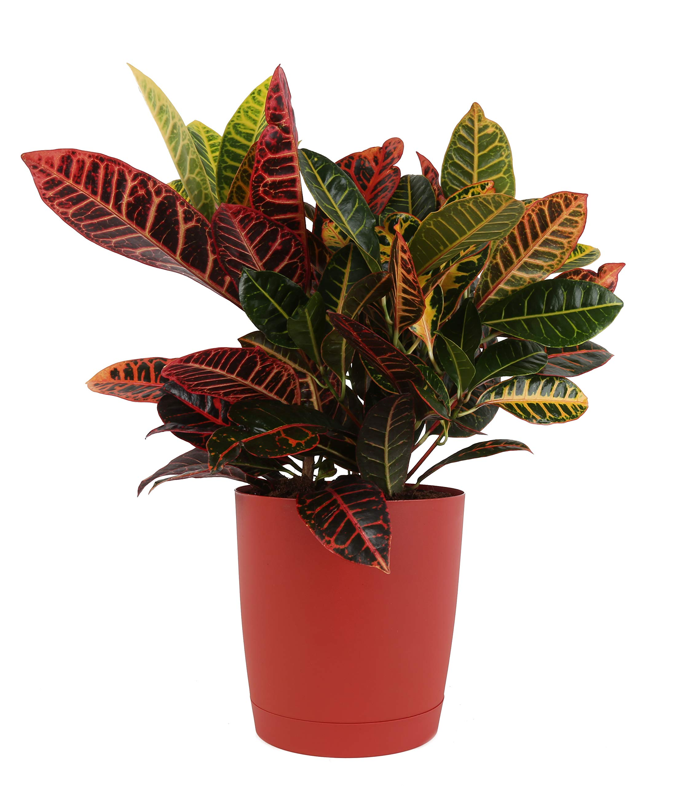 Costa Farms Croton Petra, Live Plant in 10-inch Decorative Container, Perfect for Fall Decorating