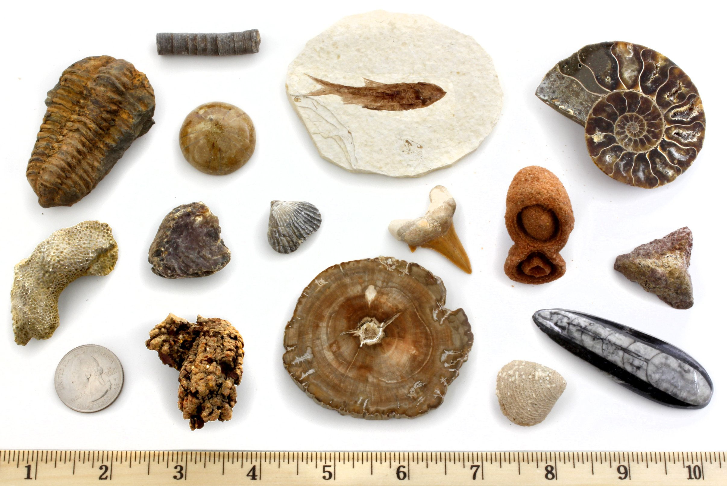 Dancing Bear Fossil Collection Set, 15 Real Specimens: Trilobite, Ammonite, Fish Fossil, Shark Tooth, Petrified Wood, Dinosaur Bone, Fossil Book, Time Scale, ID Cards, Magnifying Glass, Science Kit