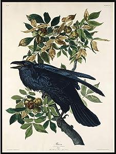 Raven Print, Antique Bird Painting, Vintage Drawing Poster Wall Art Decor, Black Raven, Bird Nature Print, Bird Lovers Gift | C424 8.5x11