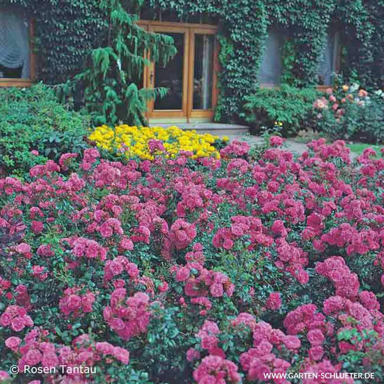 Top Rose Palmengarten Frankfurt- Bodendeckerrose tiefrosanen Blüten @CZ_17