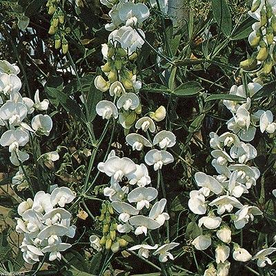 Perennial Sweet Pea - Pearl White - Lathyrus latifolius ~30 Seeds~ : Garden & Outdoor