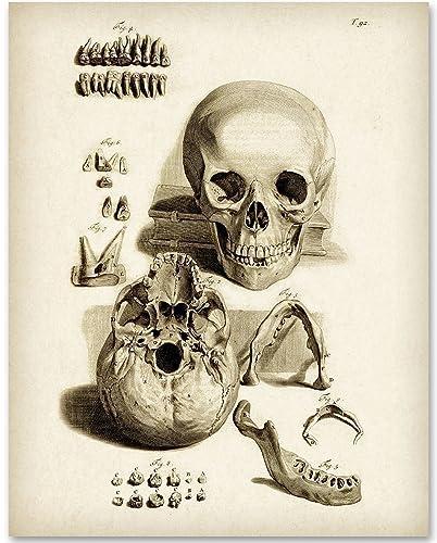 Amazon.com: Skull and Teeth Anatomy Medical Art - 11x14 Unframed Art ...