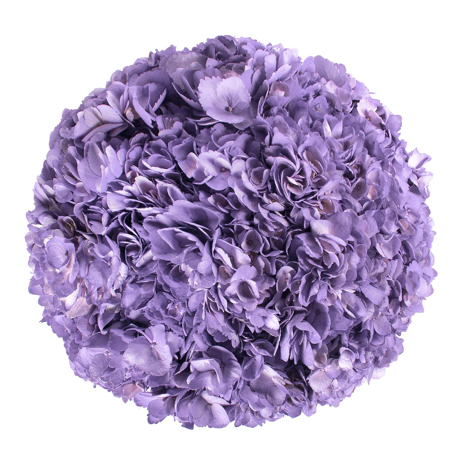 Farm Fresh Natural Painted Lavender Hydrangeas - Pack 15 by Bloomingmore (Image #2)