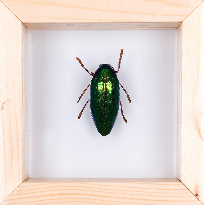 Echter Käfer Insekten gerahmt, Taxidermie Insekten-handgefertigt ...