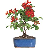 Brussel's Bonsai Japanese Red Quince
