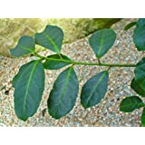 Asklepios-seeds® Catha edulis, 10 Fresh and Rare Seeds, Kat