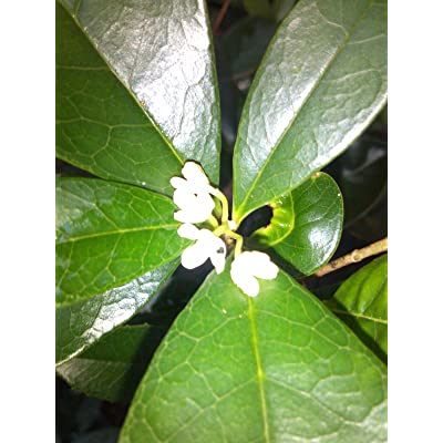 (1 Gallon) Fragrant Tea Olive, Very Fragrant White Flowers (Fall/Winter/Spring Blooming) : Garden & Outdoor
