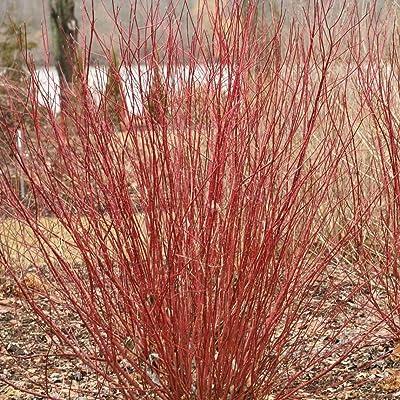 """Arctic Fire Redtwig Dogwood Cornus Compact/Hardy Proven Winner 4"""" Pot - HGarden365 : Garden & Outdoor"""