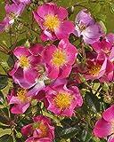 Rambler-Rose 'Rosenreigen' -R- im 4 L Container