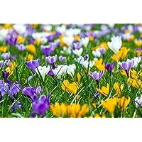 1000 botanische Krokusse Gr. 6/7 Mischung Blumenzwiebeln (ideal für Wiese und Bienenweide)