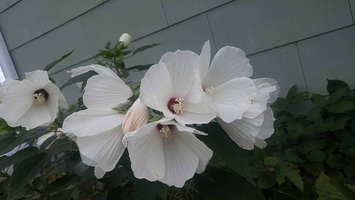 Amazon 25 luna white hardy hibiscus hibiscus moscheutos flower amazon 25 luna white hardy hibiscus hibiscus moscheutos flower seeds flowering plants garden outdoor izmirmasajfo