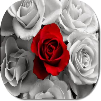 amazon com rose flower hd wallpapers appstore for android