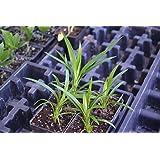 how to grow pandanus amaryllifolius