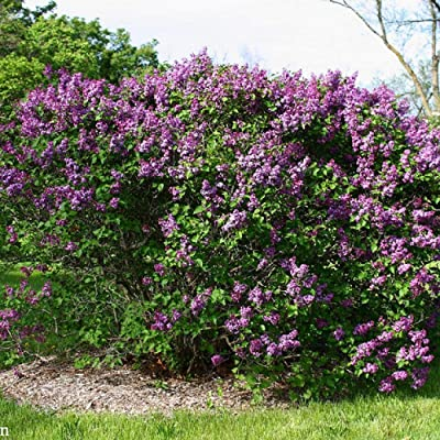 100 Seeds Lilac Common Shrubs Garden tksap : Garden & Outdoor