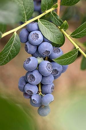 Geliebte Heidelbeere 'Reka' - Blaubeeren Pflanze mit guten Erträgen auch an &VZ_28