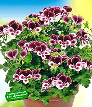 Baldur Garten Duft Geranie Pacangels Perfume3 Pflanzen