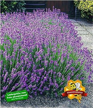 Baldur Garten Winterharte Stauden Lavendel Hecke Blau Duftlavendel