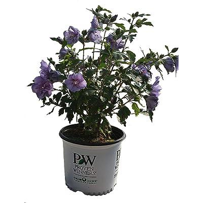 Proven Winners Blue Chiffon Rose of Sharon - Hibiscus S. Blue Chiffon - 3 Gallon : Garden & Outdoor