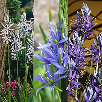 30pc camassia bulb collection perennial spring flowers amazon 30pc camassia bulb collection perennial spring flowers mightylinksfo