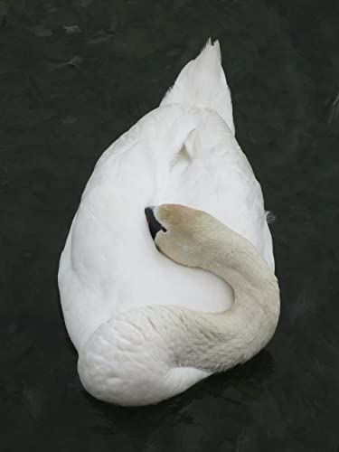 The Sleeping Swans >> Amazon Com Sleeping Swan Handmade