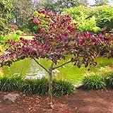 Cercis Judasbaum - 1 pflanze