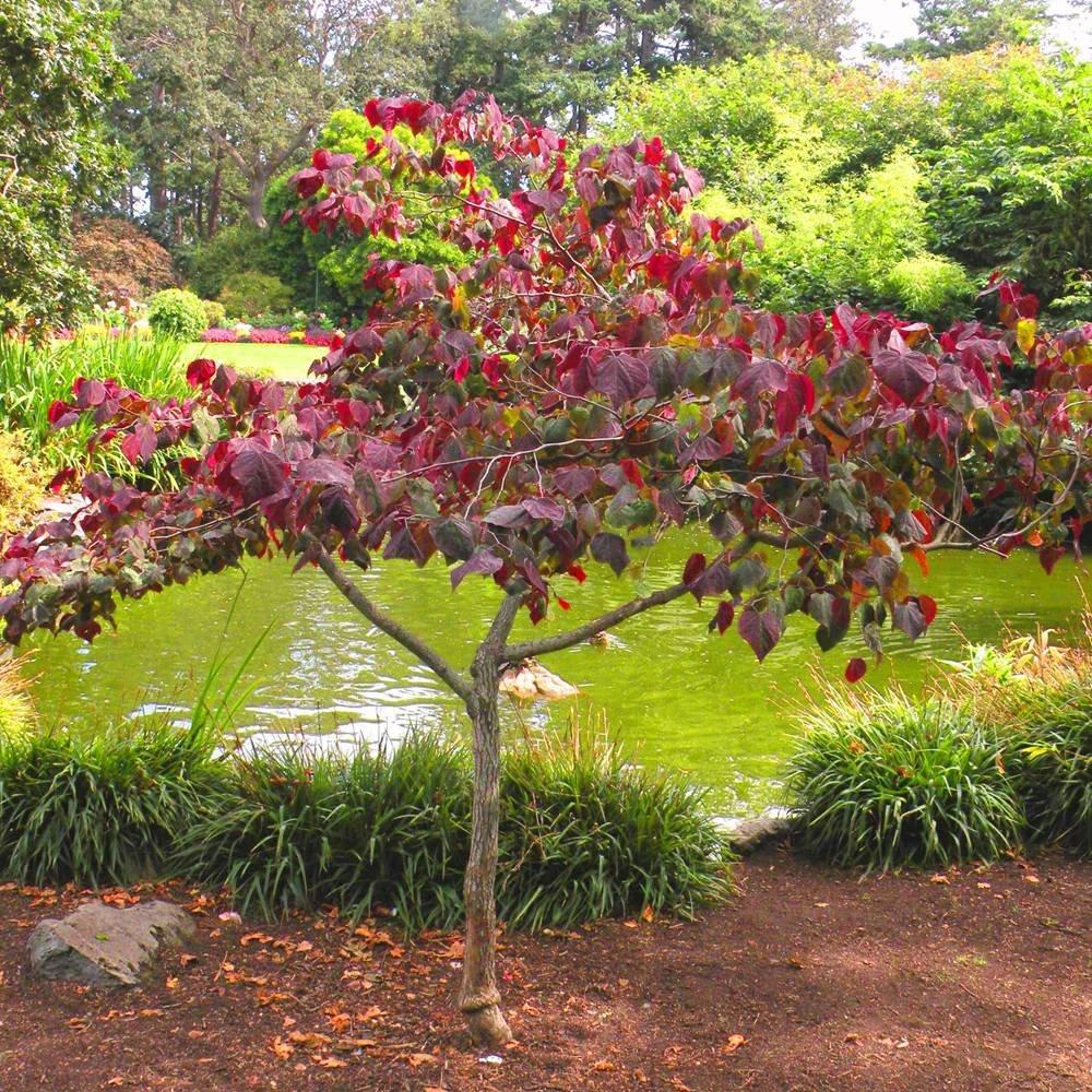 Cercis siliquastrum 1 plante