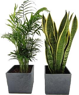 Sansevieria zeylanica ca. 30cm hoch im 9cm Topf pflegeleichte Zimmerpflanze kompakt mit dunkelgr/üner kr/äftiger Farbe Bogenhanf
