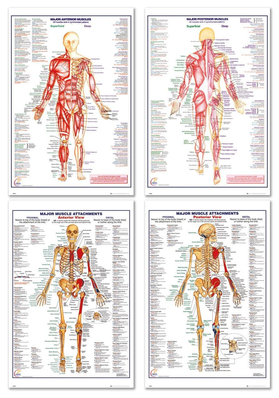 Amazon The Human Body Medical Educational Poster Set Major