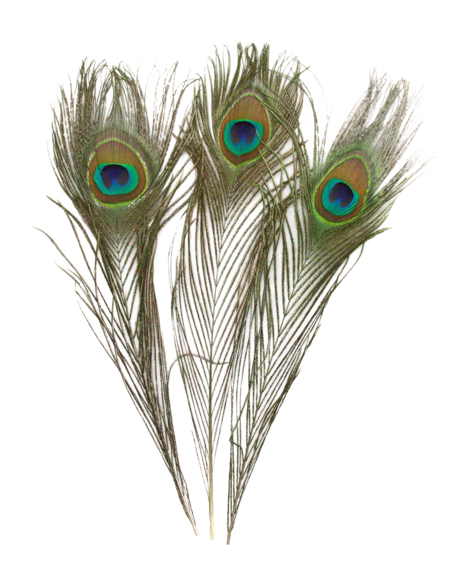 Kayso Inc 100% Genuine Natural Peacock Feathers 10'' to 12'' Length (2000 pcs)