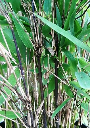 Schwarzer Bambus Fargesia Nitida Black Pearl Winterhart Und