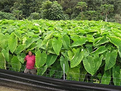 Amazon Com 3 Colocasia Maui Gold Elephant Ear Plant Bulbs